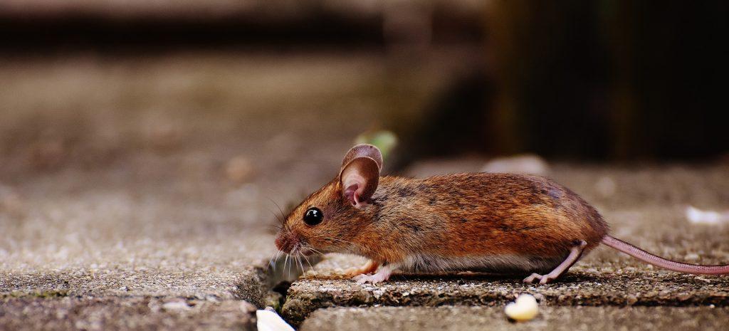 Walking habits of Mice