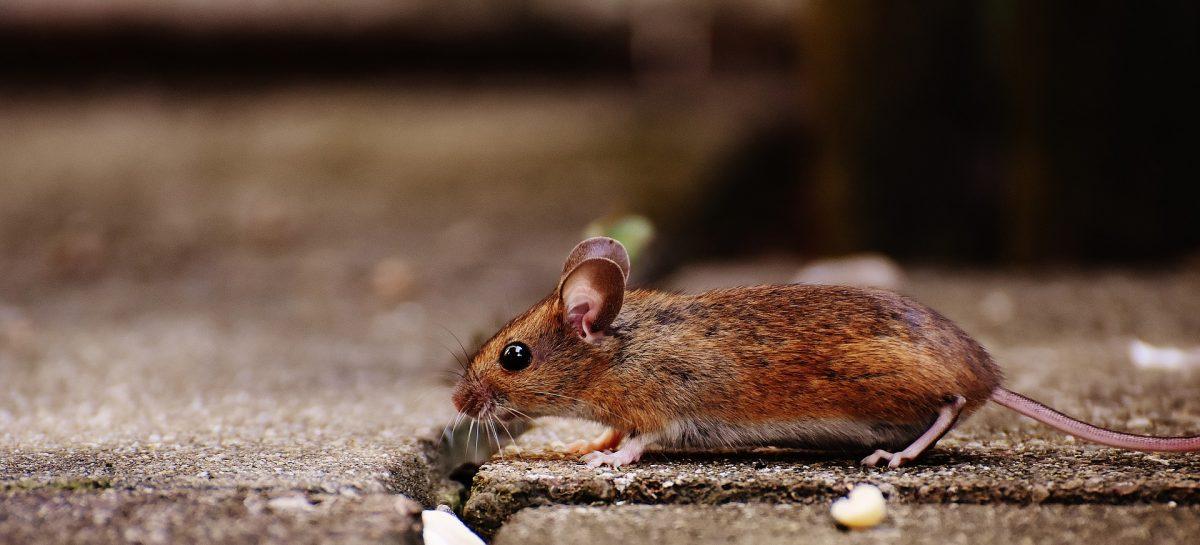 Walking Habits Mice